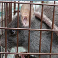 Rats Eradicated from Gwaii Haanas