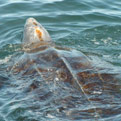 GPS Maps Benefit Leatherback Turtles