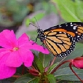 Native American Tribes Pledge to Save the Monarch