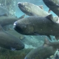 The Sound of Endangered Salmon Surviving