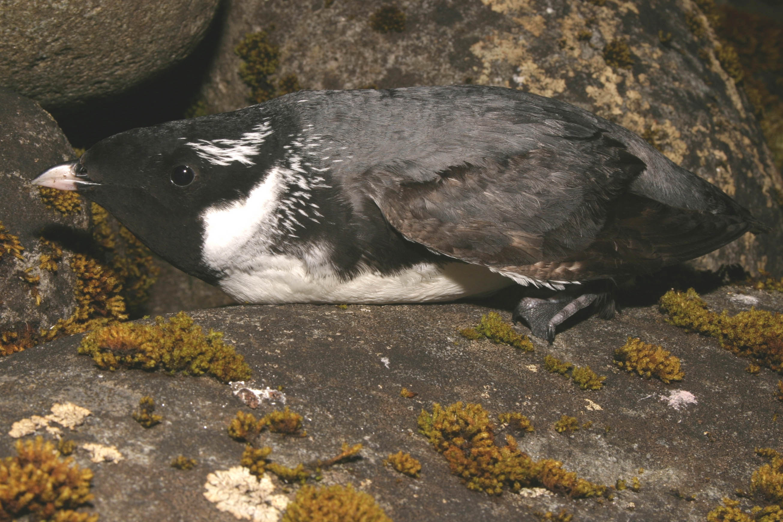 Ancient Murrelet (Photo credit:  Ian Jones)