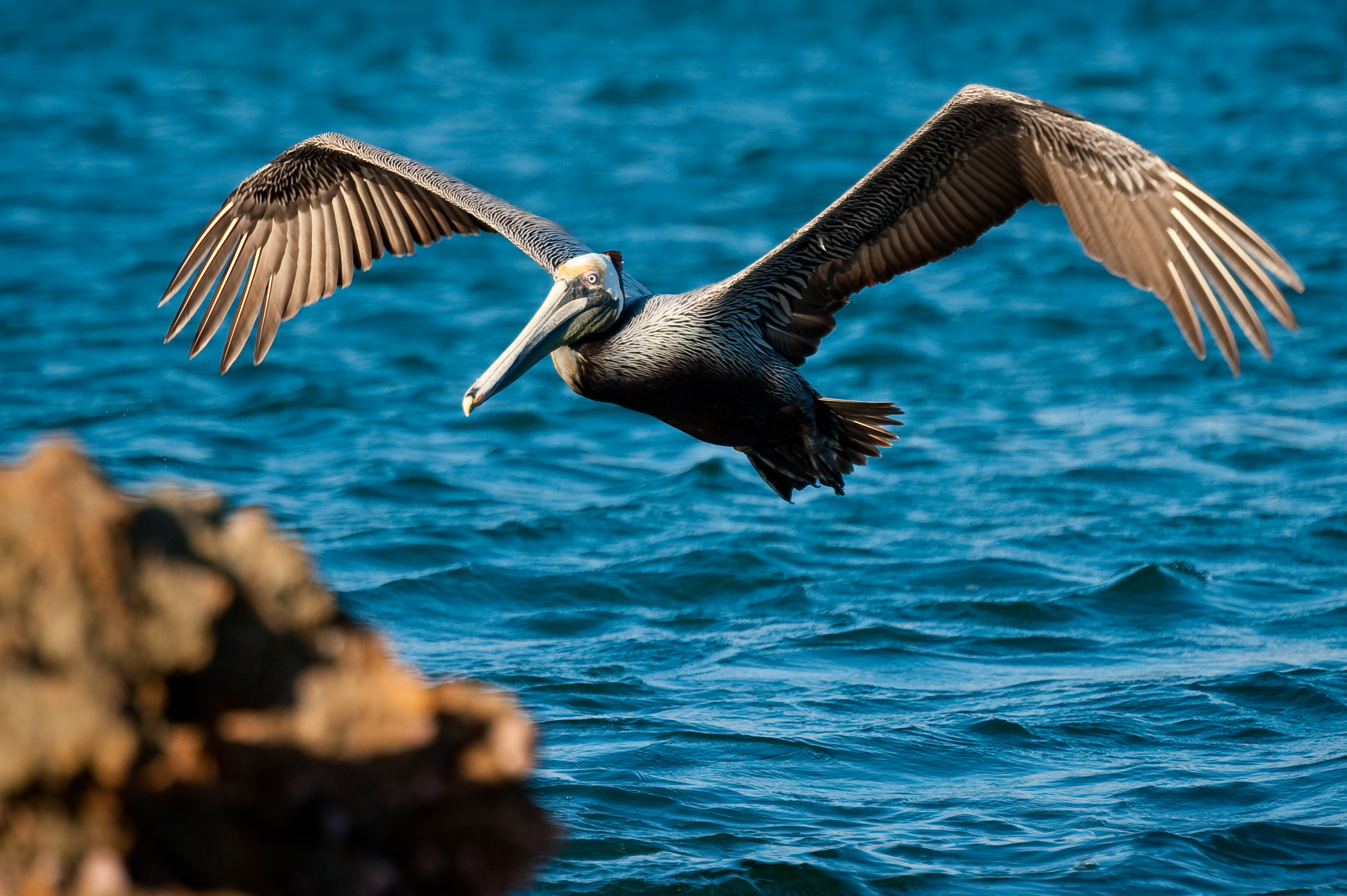 California Brown Pelican (Photo credit: GECI)